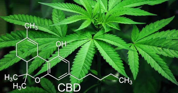 Il popolarissimo CBD, o cannabis legale light, ha effetti collaterali?