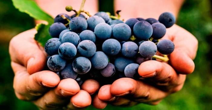 Vuoi dimagrire con gusto? Mangia uva!
